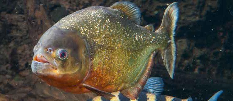 Sole piranha