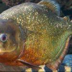 Piranha Facts for Kids [Child Friendly Information]