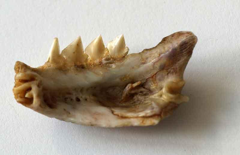Piranha Jawbone
