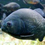 The Black Piranha [also known as The RedEye Piranha]