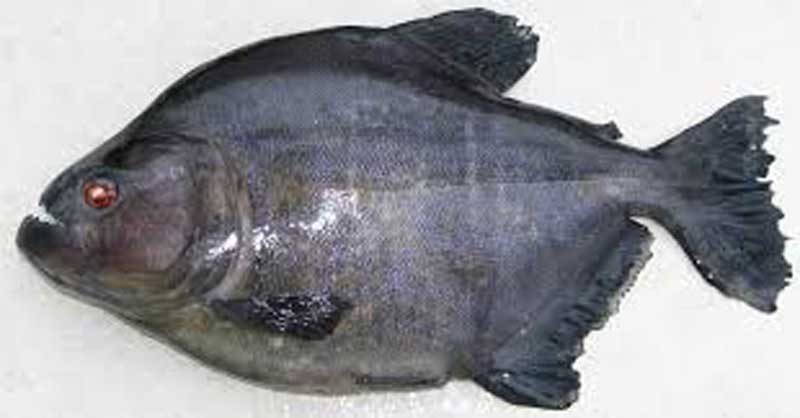 Single Black Piranha