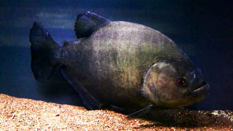 Single Black Piranha swimming in tank