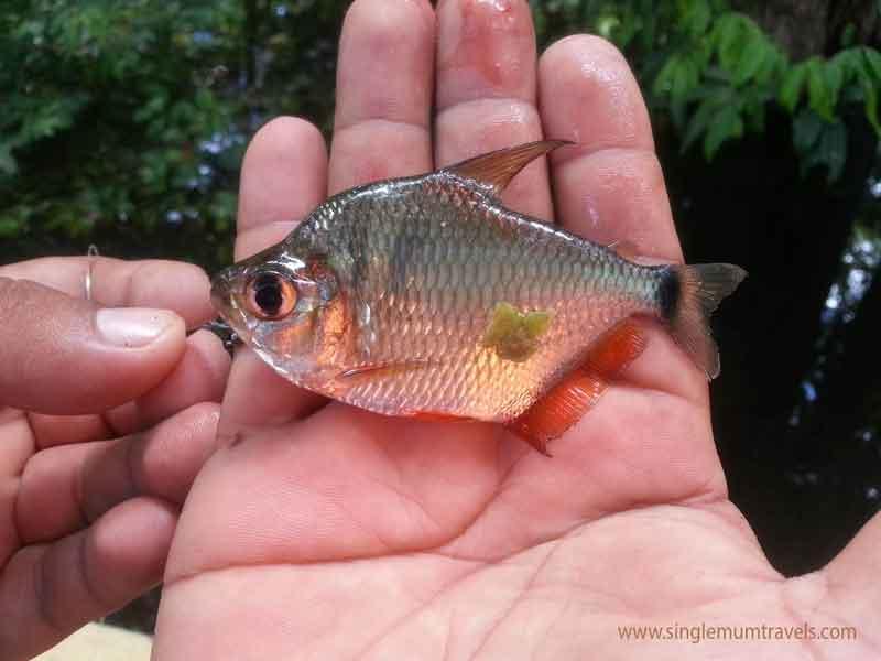 Small Piranha fish