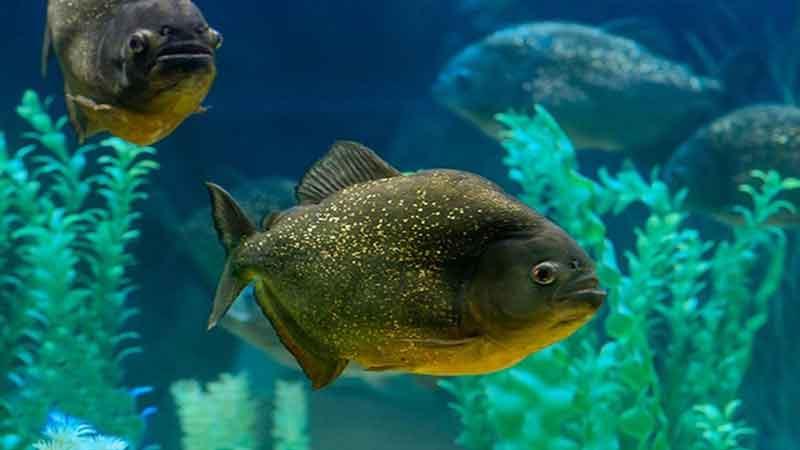 piranha in tank