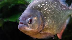 a single piranha