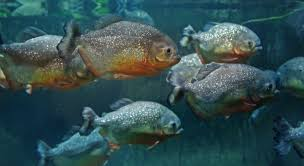 lots of piranha swimming