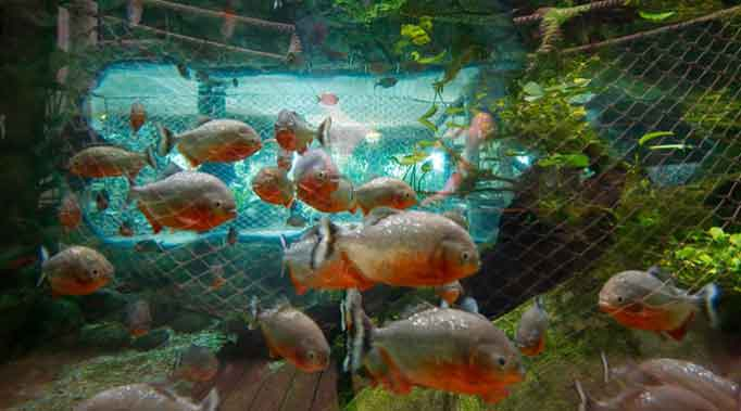 Aquarium of Piranha