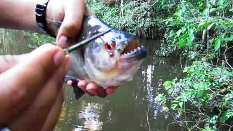 piranha biting stick