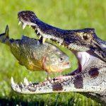 The Piranhas Predators - What Animals Eat Piranha?