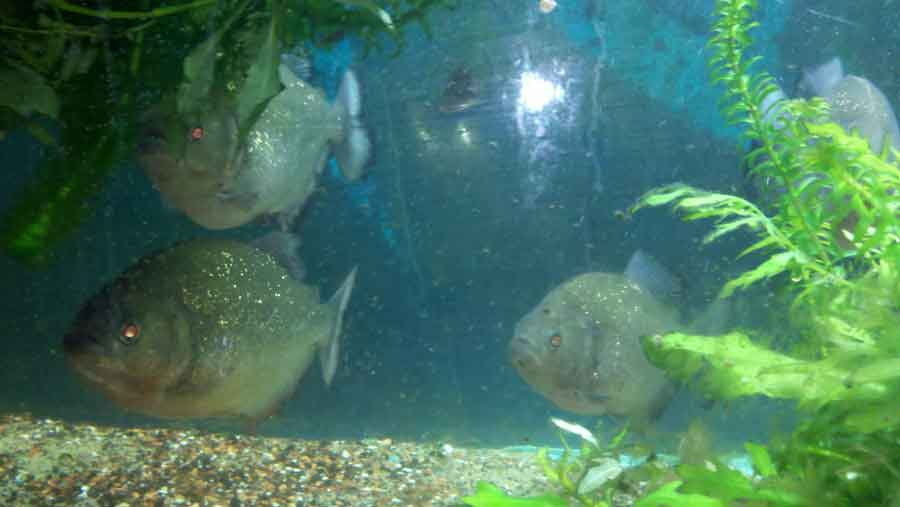 Piranha eggs in a tank
