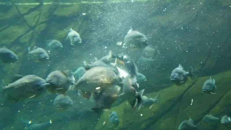 attacking piranha