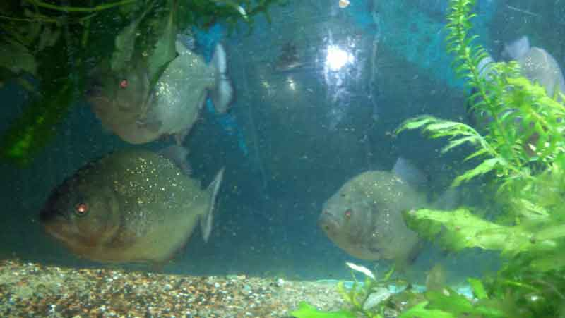 2 piranha