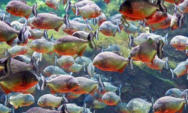 Piranha School