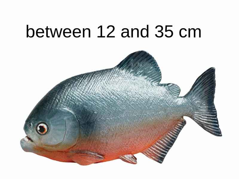 Pictorial size of piranha
