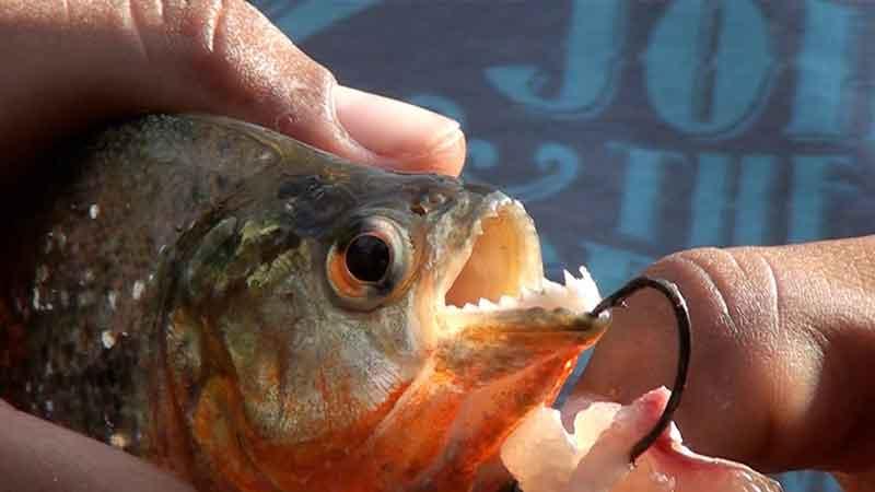 piranha jaw and teeth