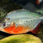 The Red Bellied Piranha [Breed Info | Facts | In the Wild Guide]