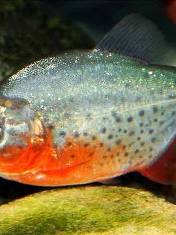 A sole Red bellied piranha