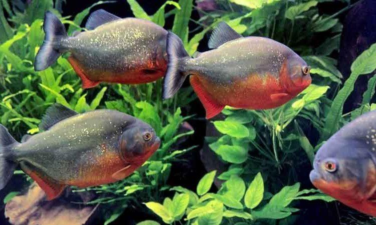 Red-bellied piranha in a tank