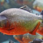 The Piranha Ultimate Guide [Info | Facts | Pictures | FAQs]