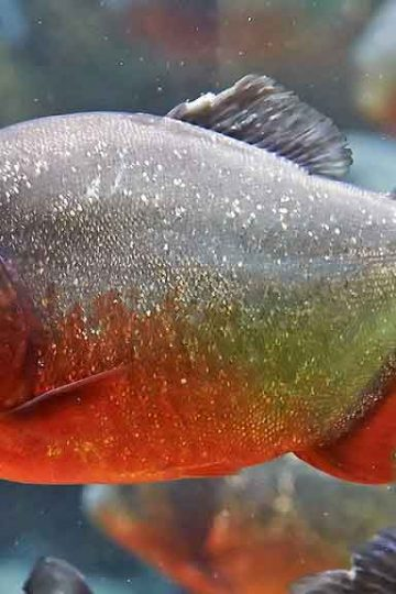 Side view if red-bellied piranha