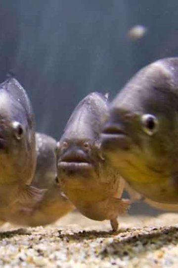 5 piranha staring front