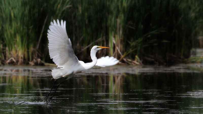 Egret in the amazon