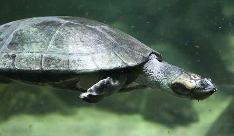 turtle in the amazon