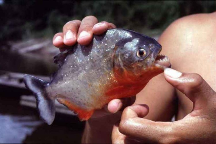 small red bellied piranha in hands
