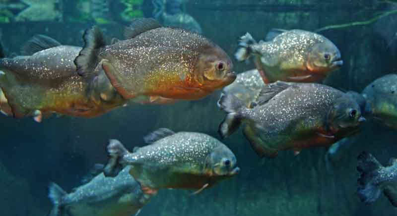 Piranha school swimming