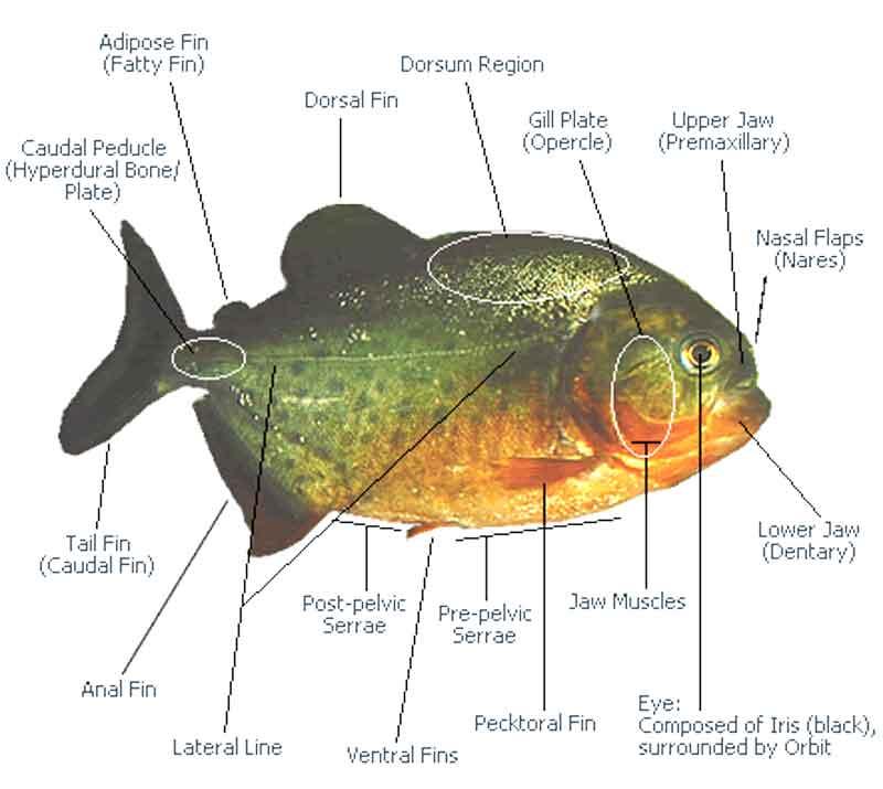 piranha anatomy