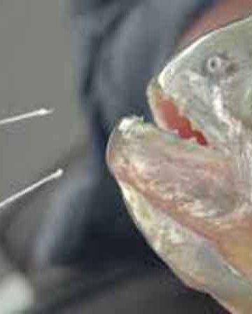Piranha bite test