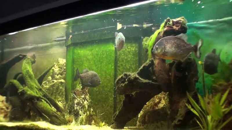 piranha in an aquarium