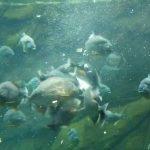 The Piranhas Diet - What Do Piranhas Actually Eat?