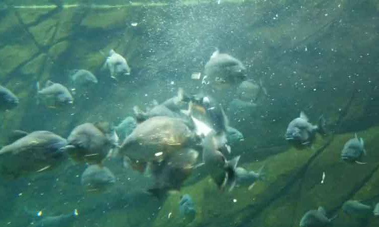 piranha feeding time