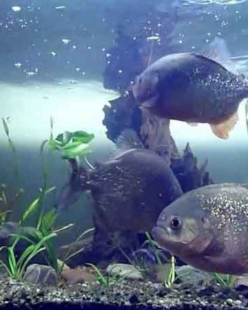 3 Piranha in an aquarium