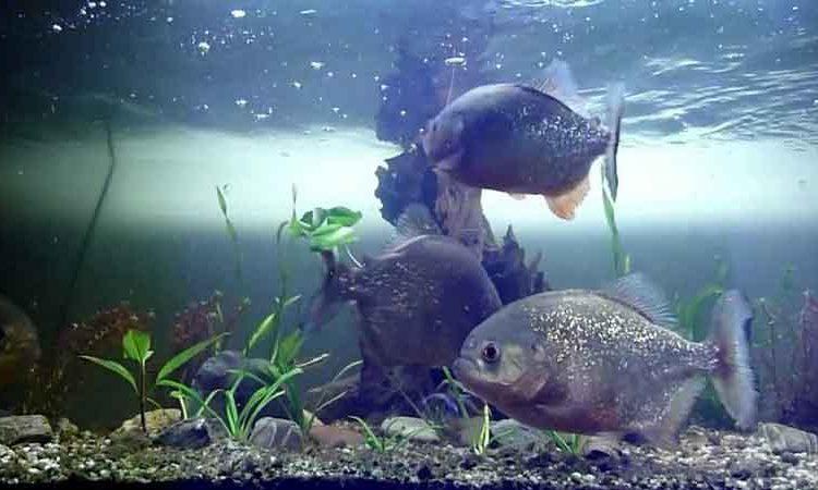 3 Piranha in an aquarium