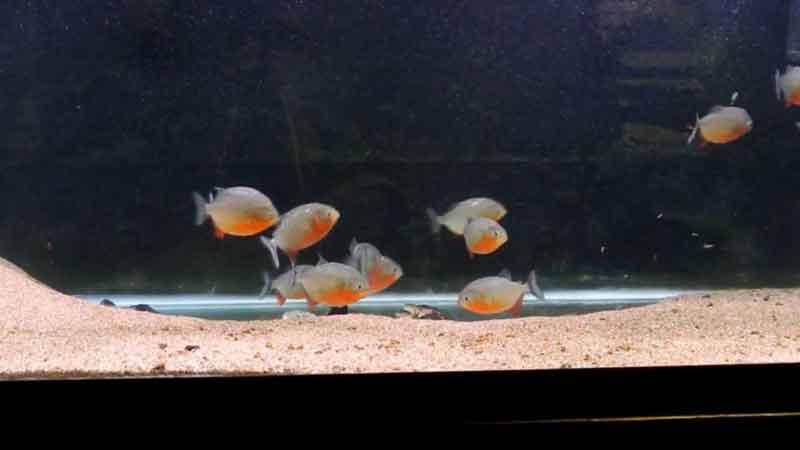 Young Piranha in aquarium
