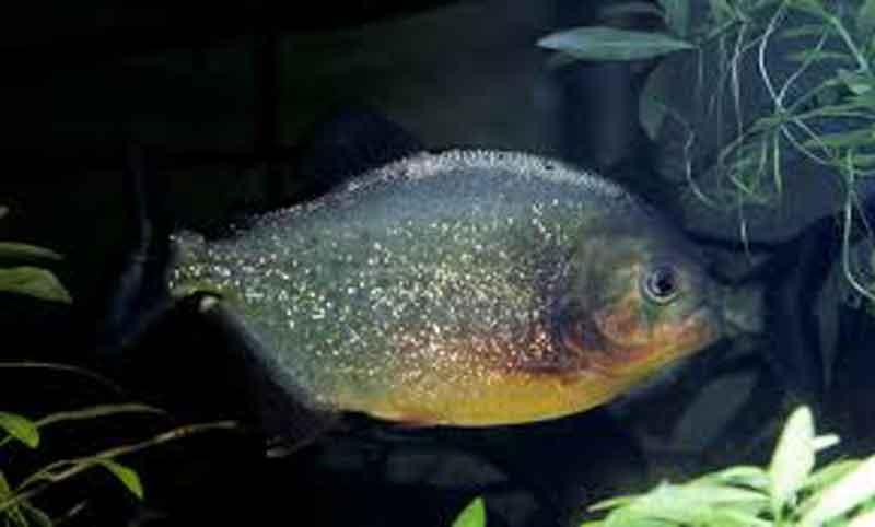Sole Piranha in an aquarium