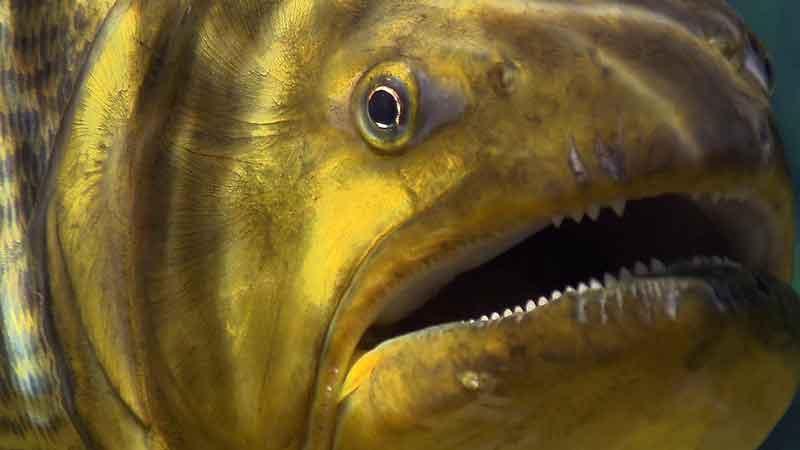 Piranha close up of mouth