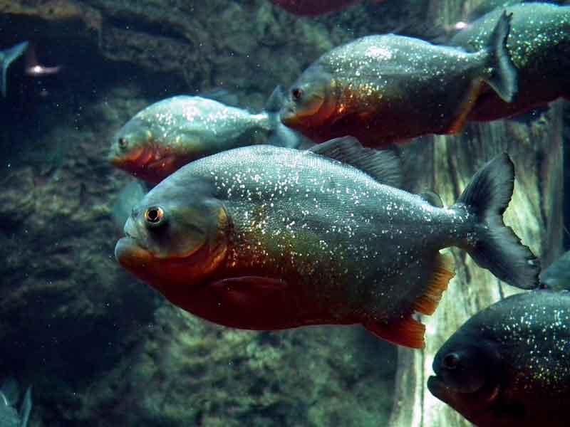 School of Red Bellied Piranha
