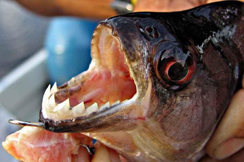 A piranha jaw close up