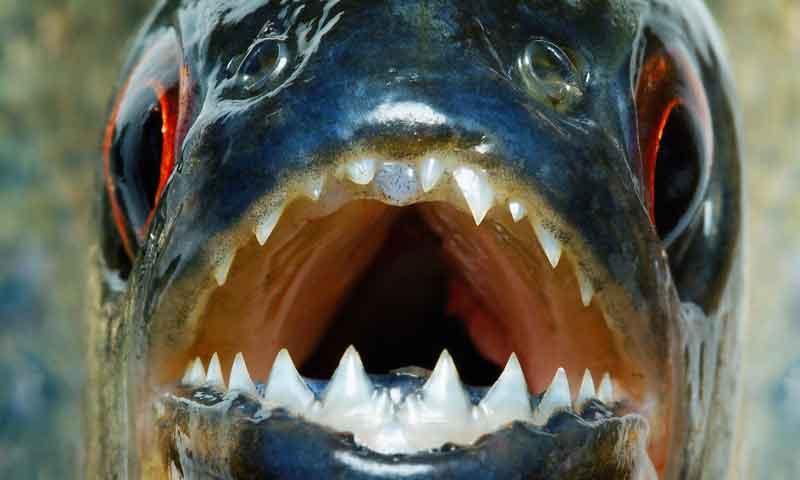 A piranha mouth with teeth