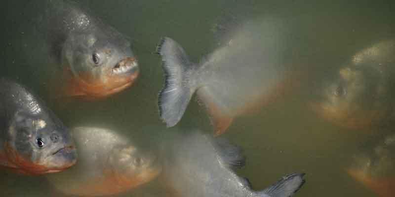 piranha at the surface