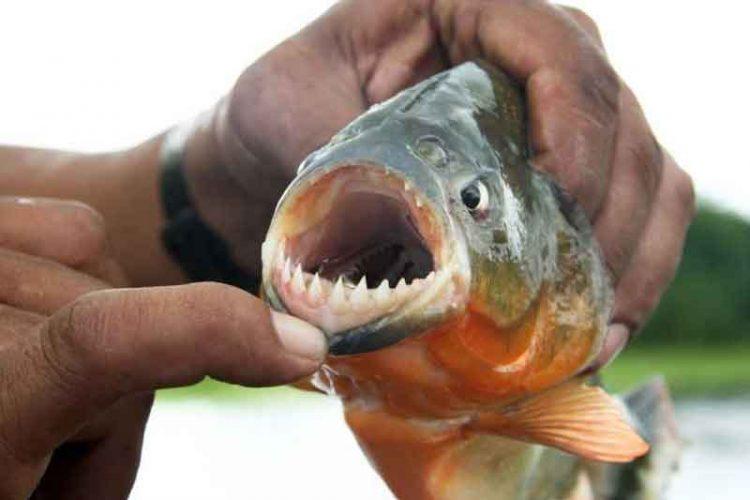 close up of piranha teeth