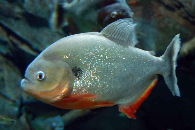 Sole Red Bellied Piranha
