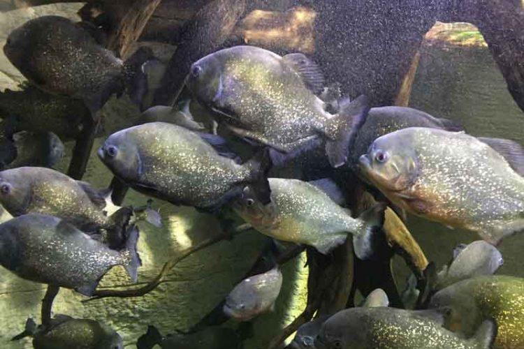 Shoal of piranha swimming