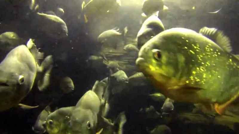piranha swimming in a school