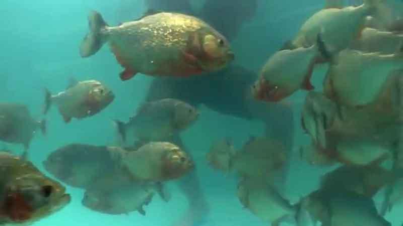 piranha swimming - man in background