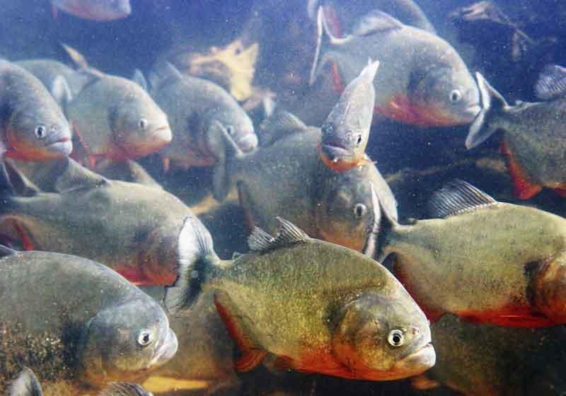 packed school of piranha