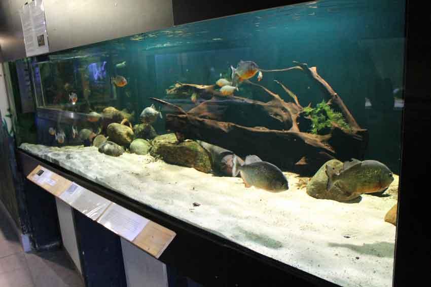Red Bellied Piranha in a home aquarium